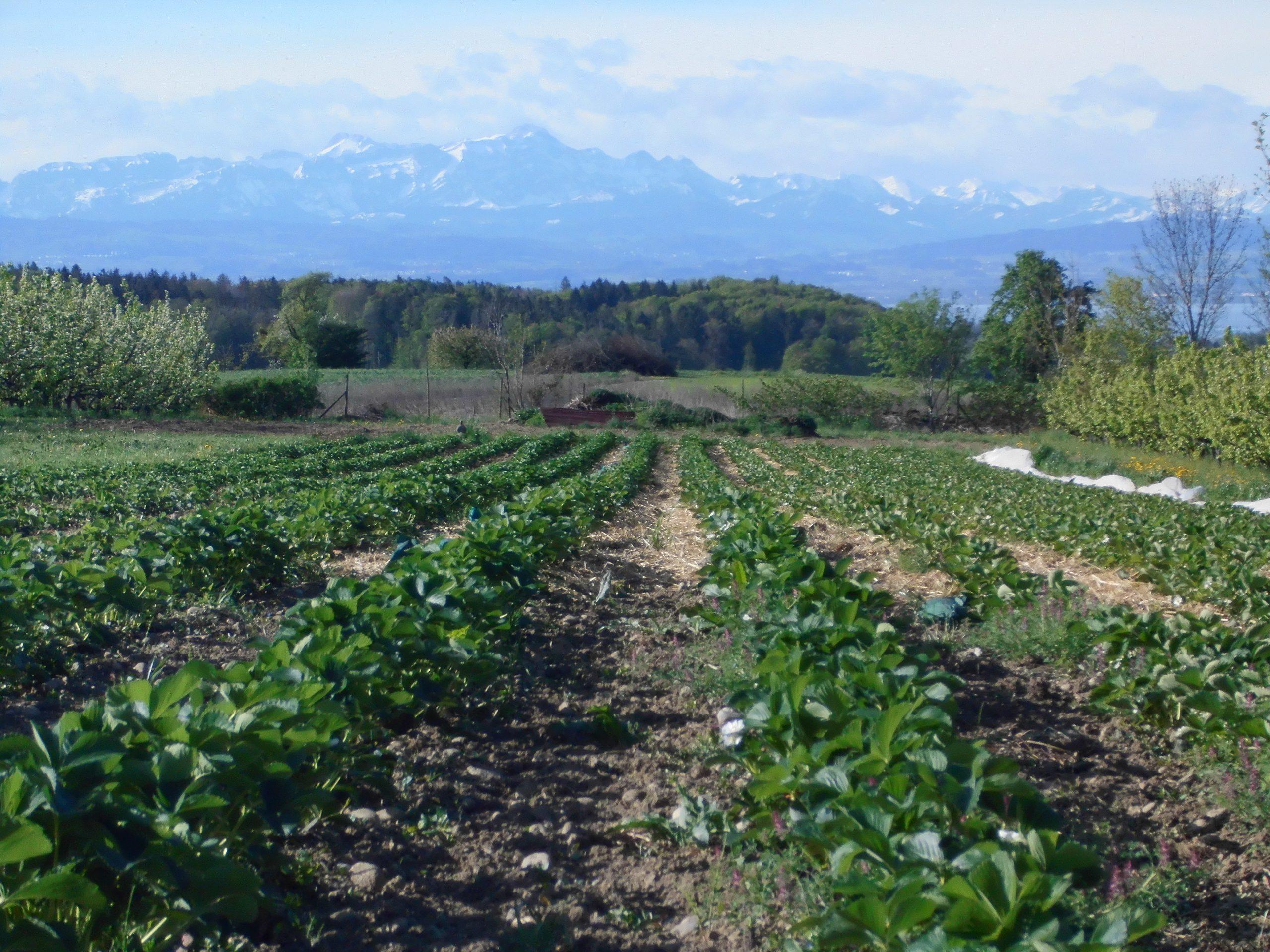 Unser erdbeerfeld mit Blick auf den säntis